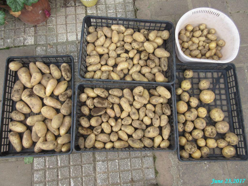 画像8(収穫したジャガイモ)