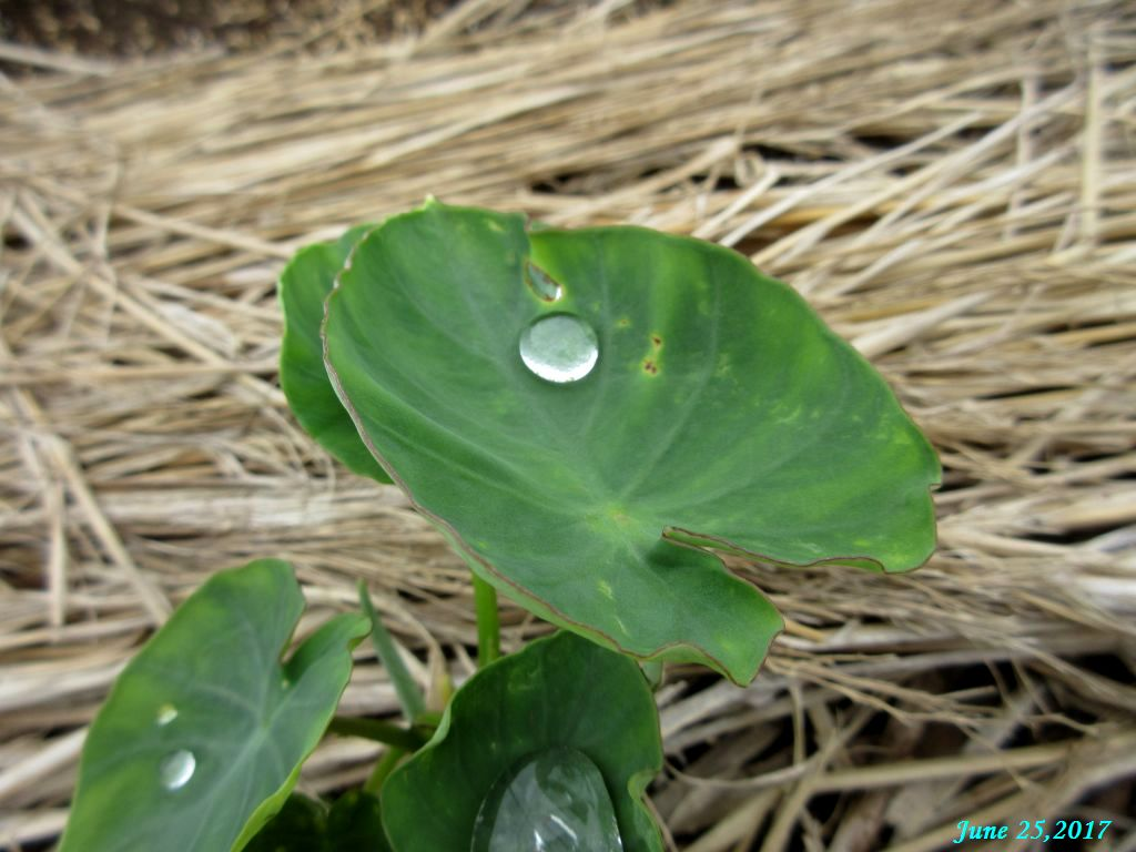 画像15(里芋の葉の水滴)