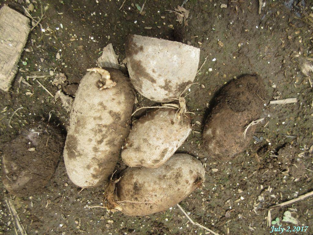 画像10(シンシアの種芋)