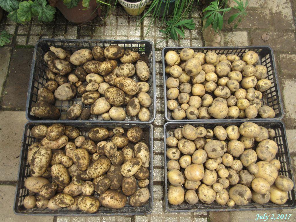 画像11(収穫したジャガイモ)