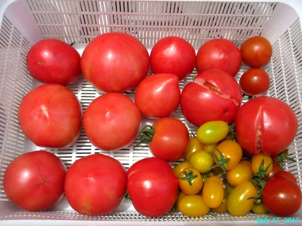 画像5(収穫したトマト)