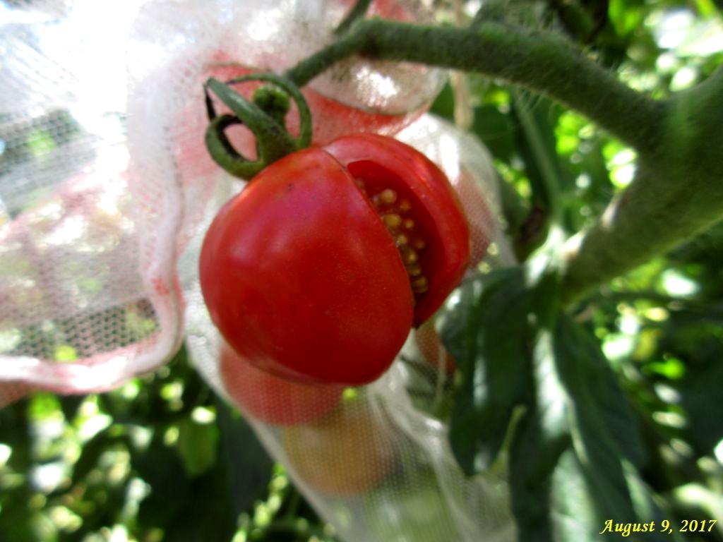 画像4(裂果したトマト)