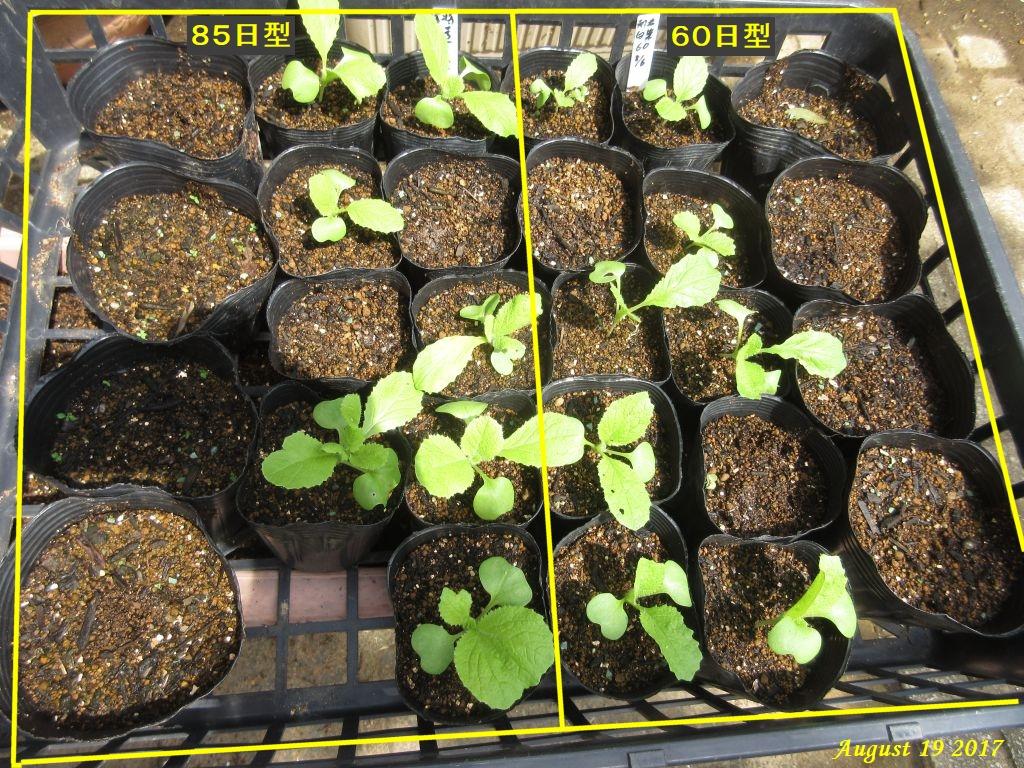 画像7(白菜追加播種)