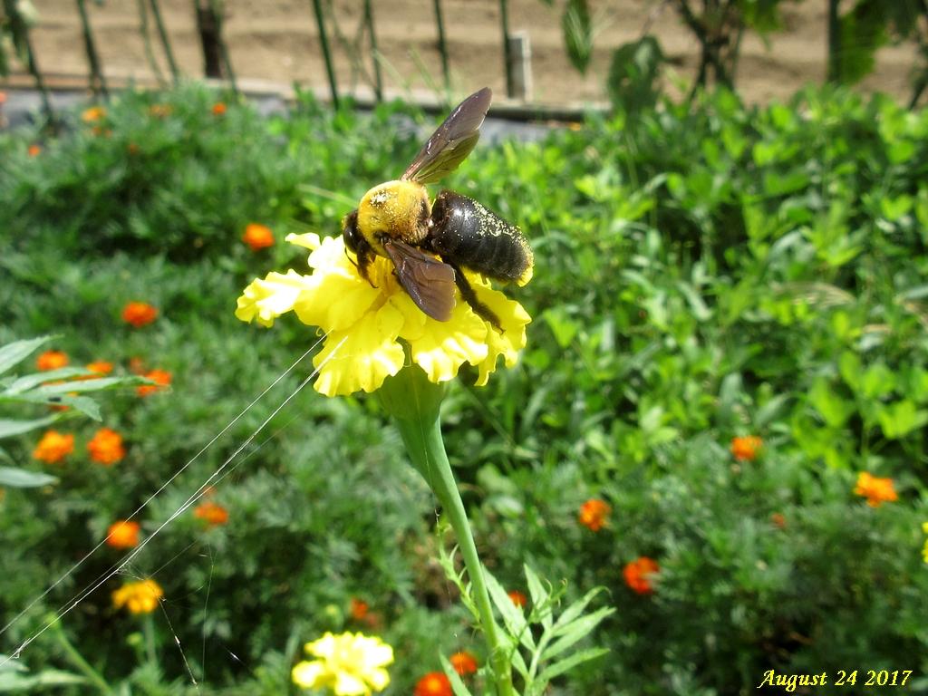 画像6(アフリカンマリーゴールドとクマバチ)