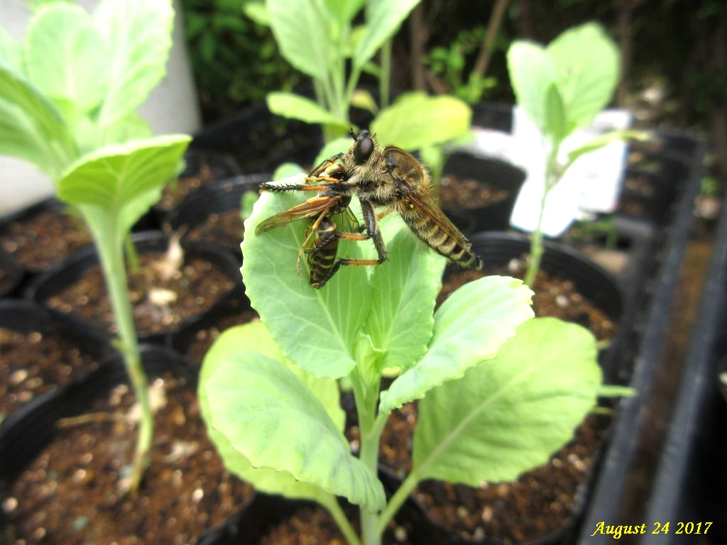 画像13(アシナガバチを捕らえたアブ)