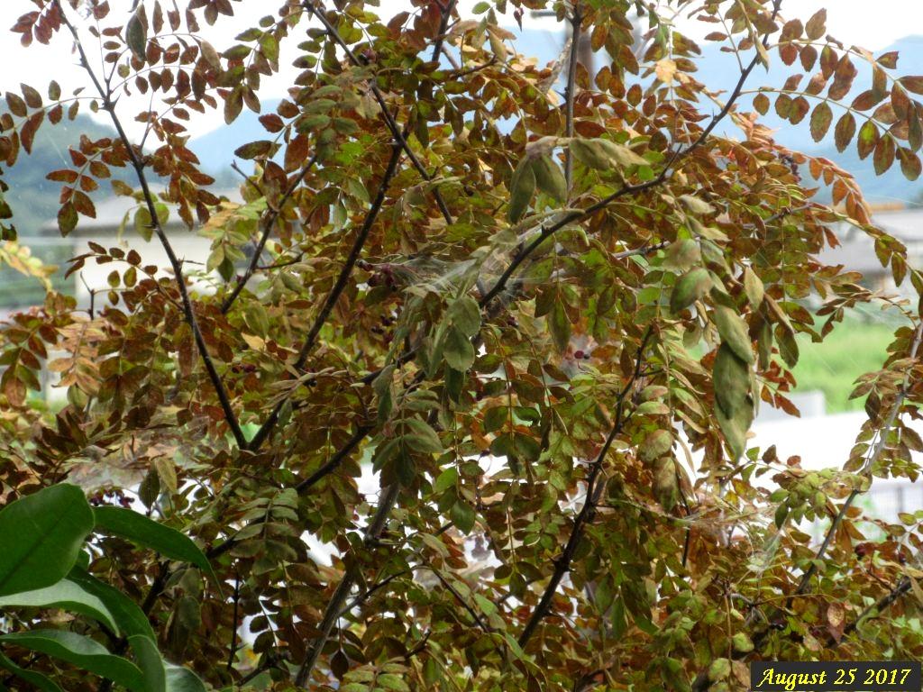 画像9(枯れた山椒の木)