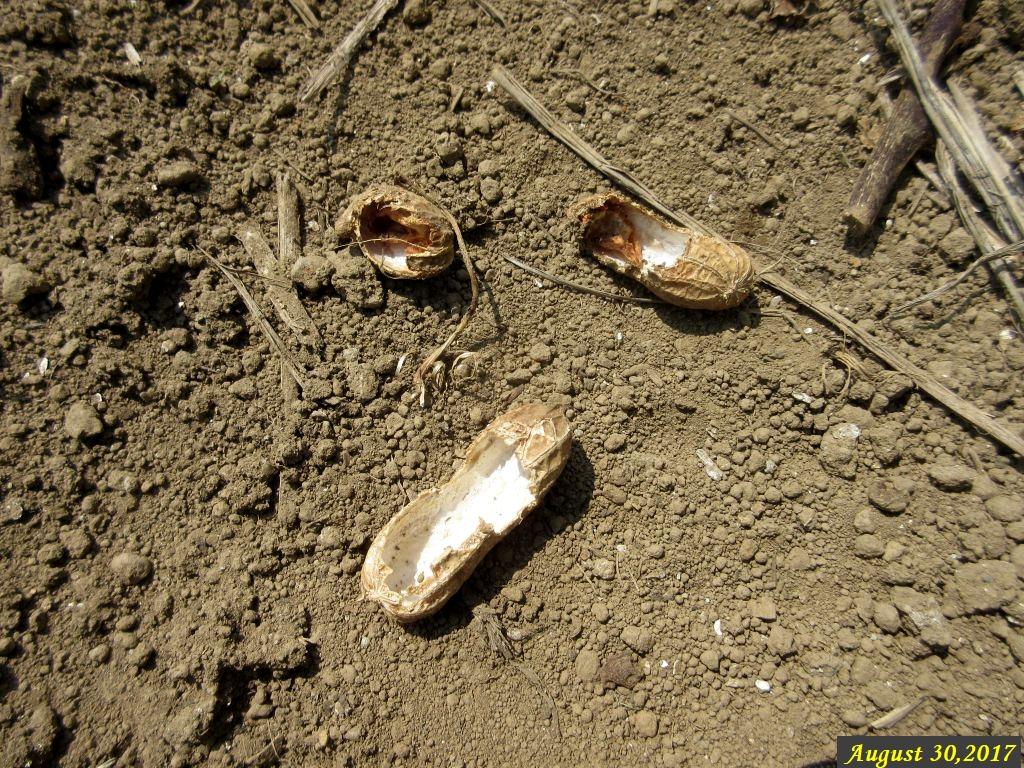 画像7(食べられた落花生の殻)