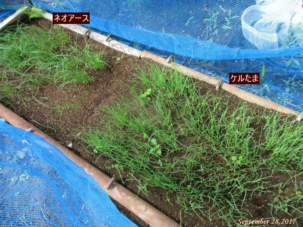 画像2(玉ねぎの苗床)