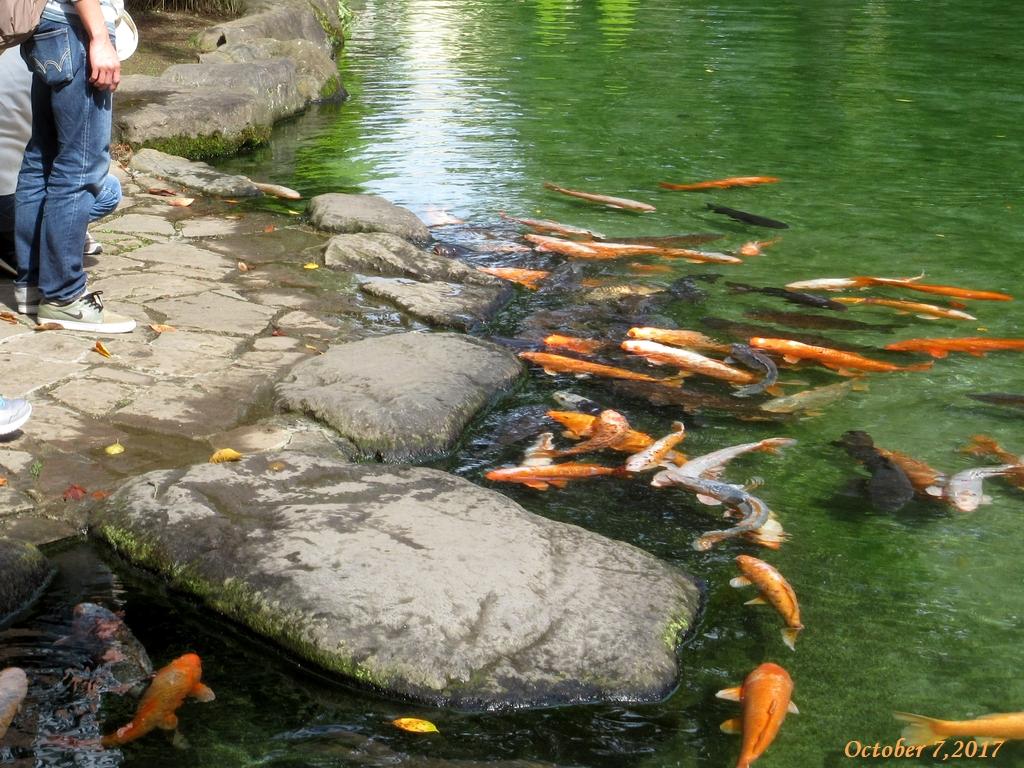 画像2(ハーブ庭園の鯉)