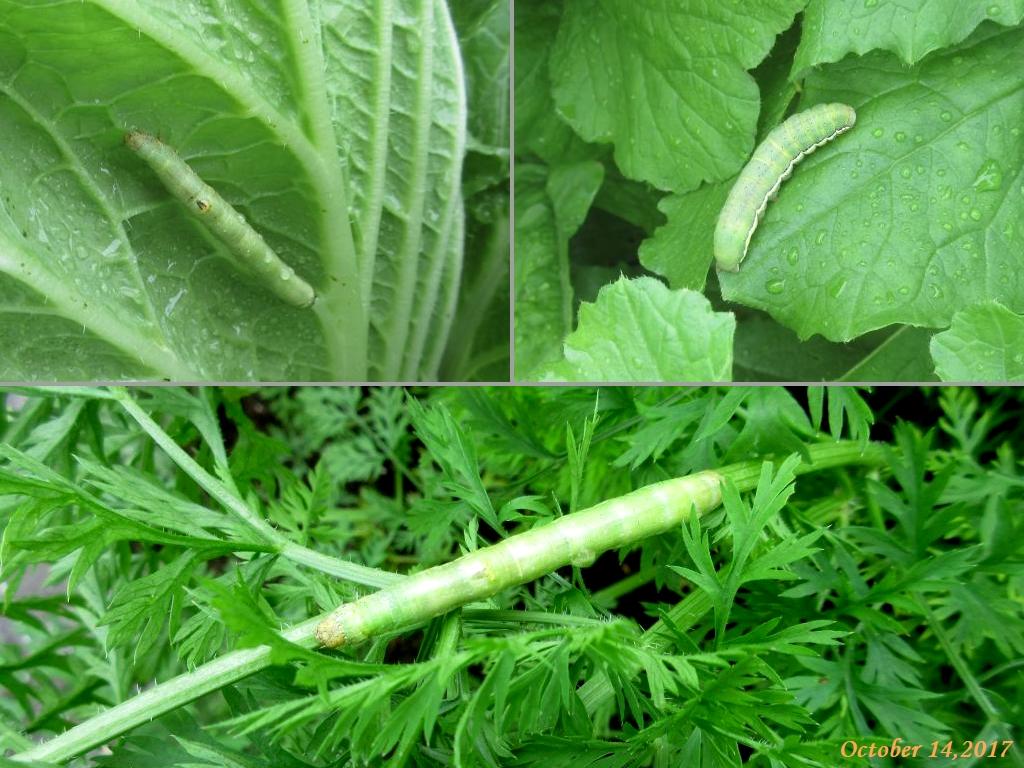 画像5(白菜・大根・ニンジンの葉にいたアオムシ)
