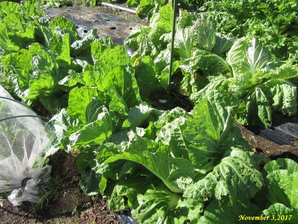 画像3(白菜の畑)