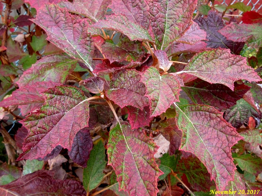 画像2(紅葉した紫陽花の葉)