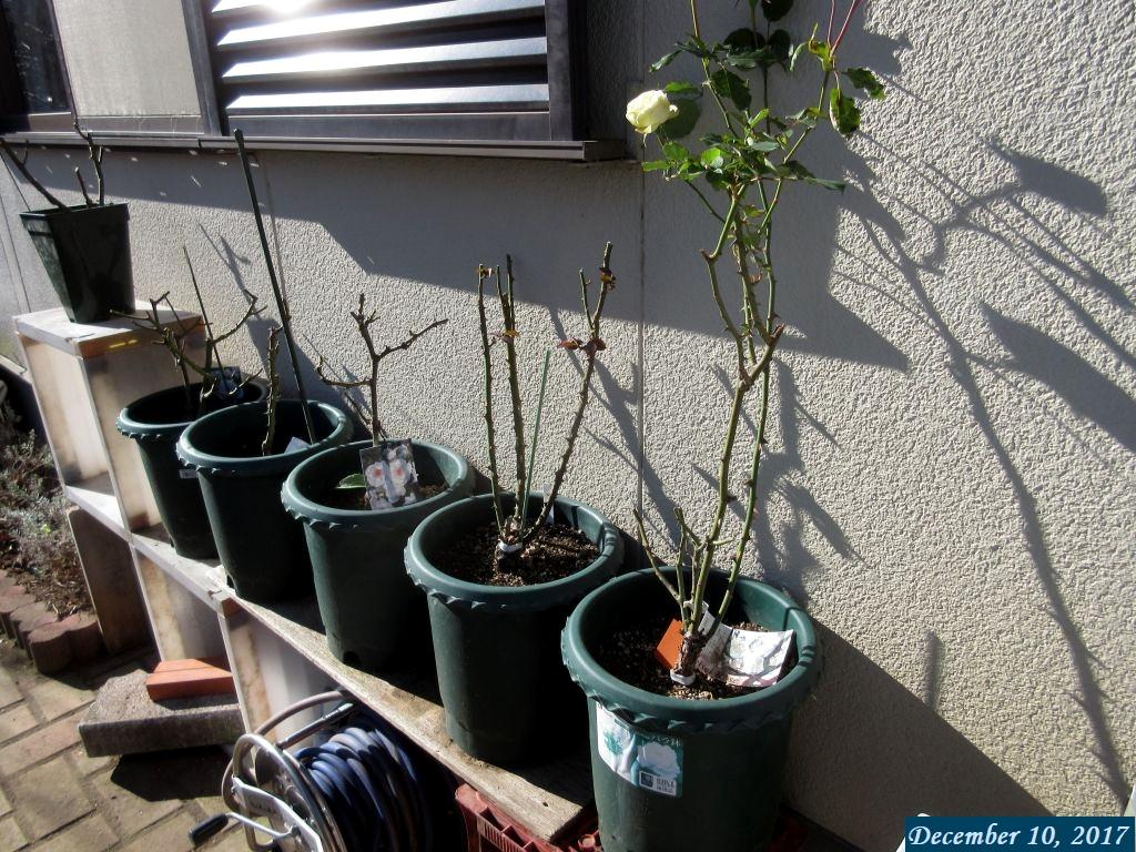 画像3(壁際に移した鉢植えのバラ)