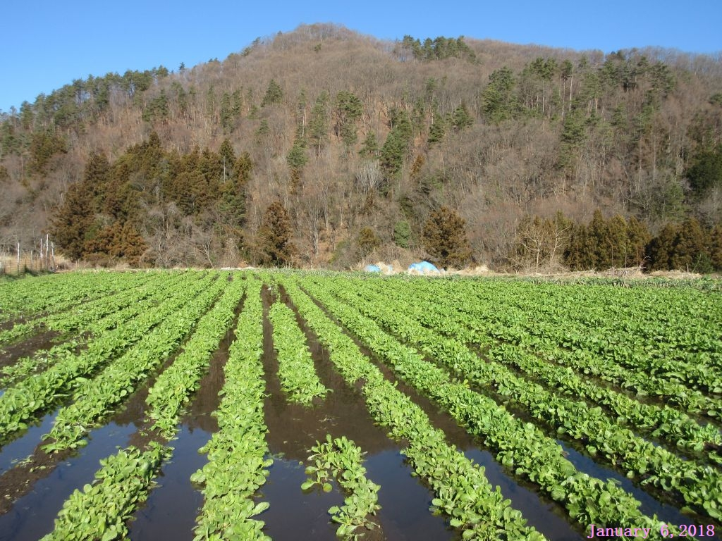 画像1(水掛菜の畑)