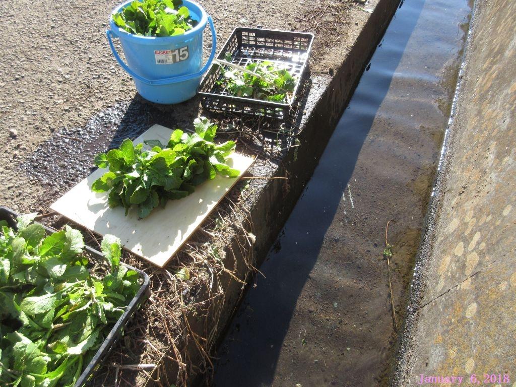 画像5(水掛菜を洗う湧水の水路)