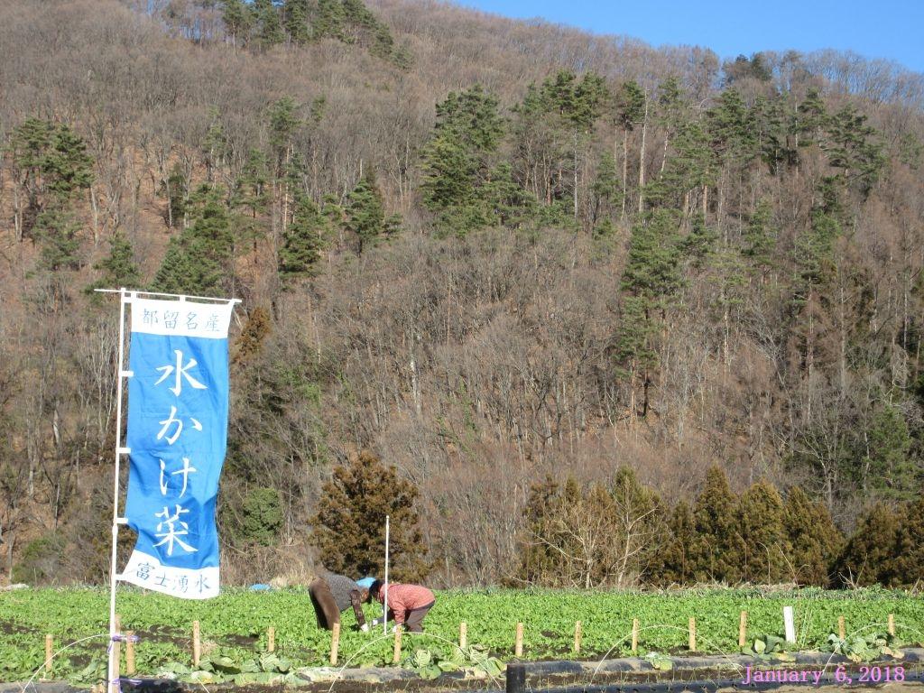 画像6(水掛菜を収穫している人)