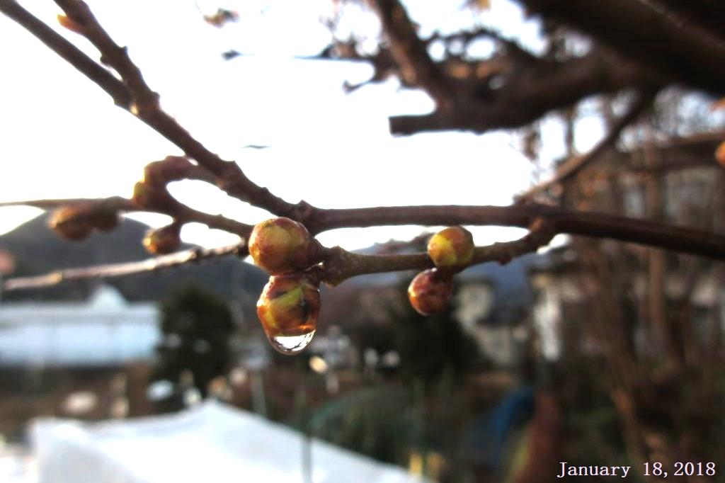 画像1(ロウ梅の水滴)