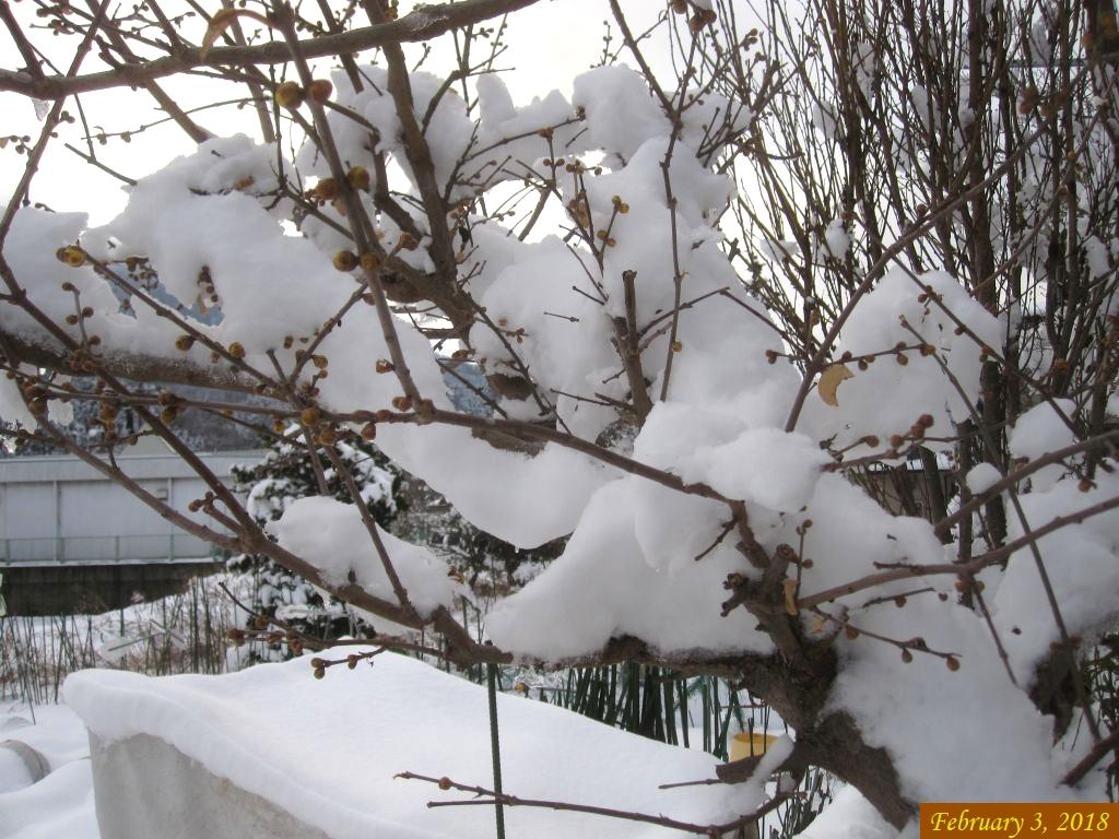 画像2(ロウ梅に積もった雪)