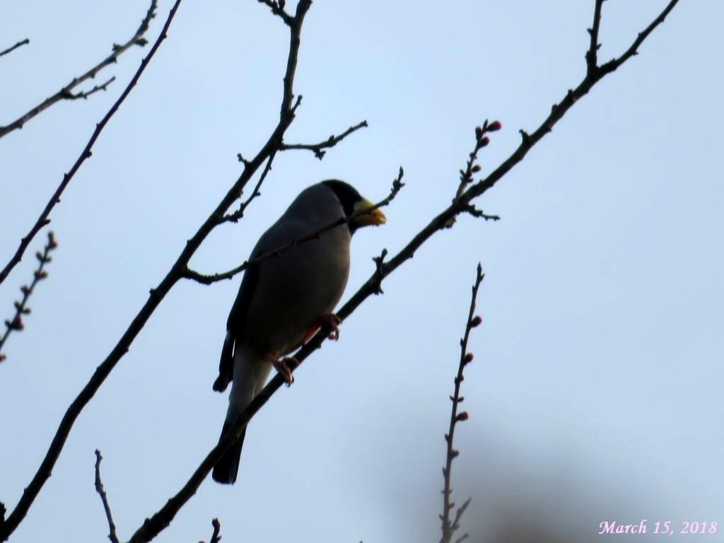 画像4(野鳥「イカル」)