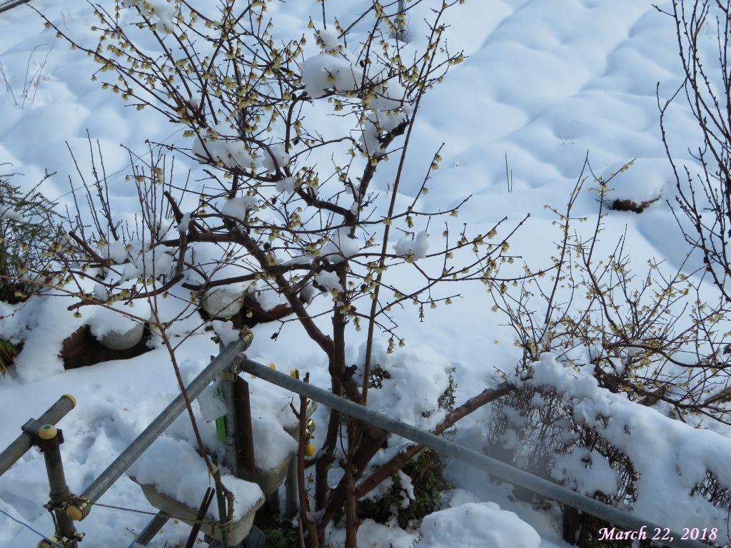 画像3(根元から折れたロウ梅の枝)