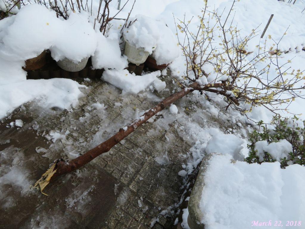 画像4(根元から折れたロウ梅の枝)