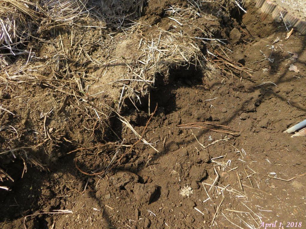 画像8(ヤブガラシの地茎)
