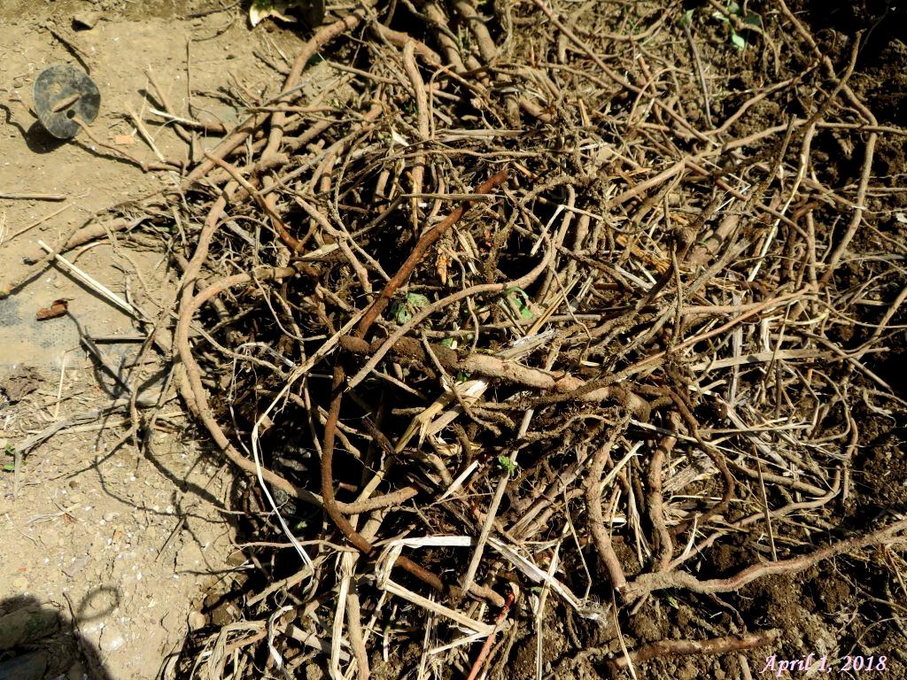 画像9(掘り出したヤブガラシの地茎)