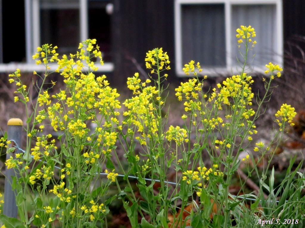画像4(菜の花)
