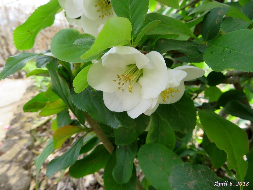 画像1(白色の木瓜の花)