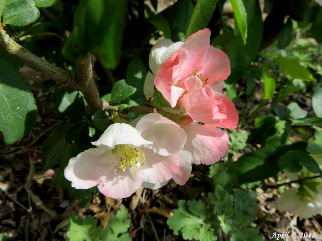 画像3(ピンクの木瓜の花)