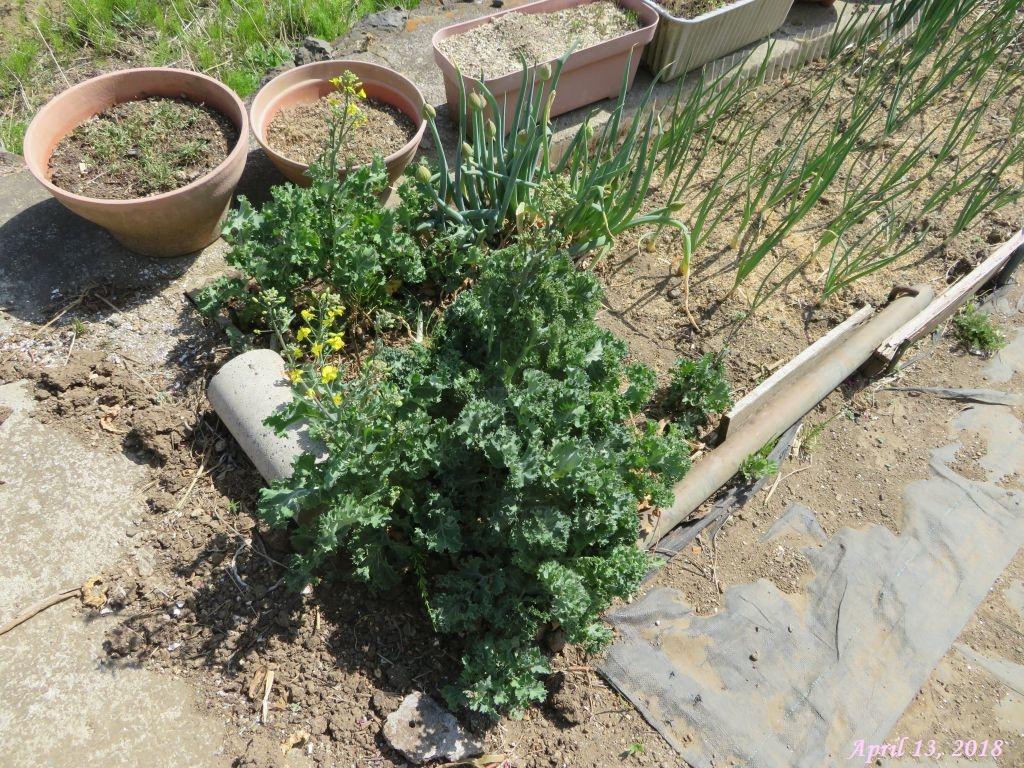 画像4(採種用の冬菜)
