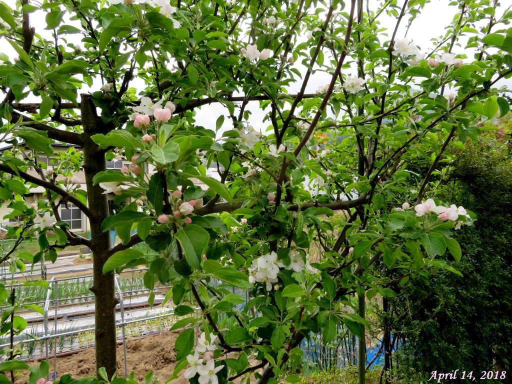 画像3(姫リンゴの花)