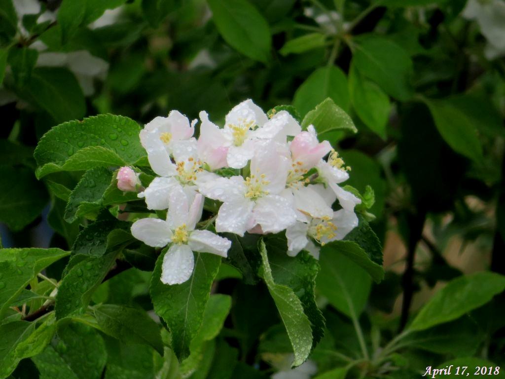 画像4(姫リンゴの花)