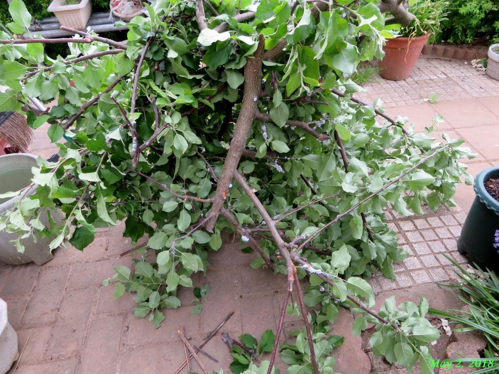 画像6(リンゴワタムシの被害)