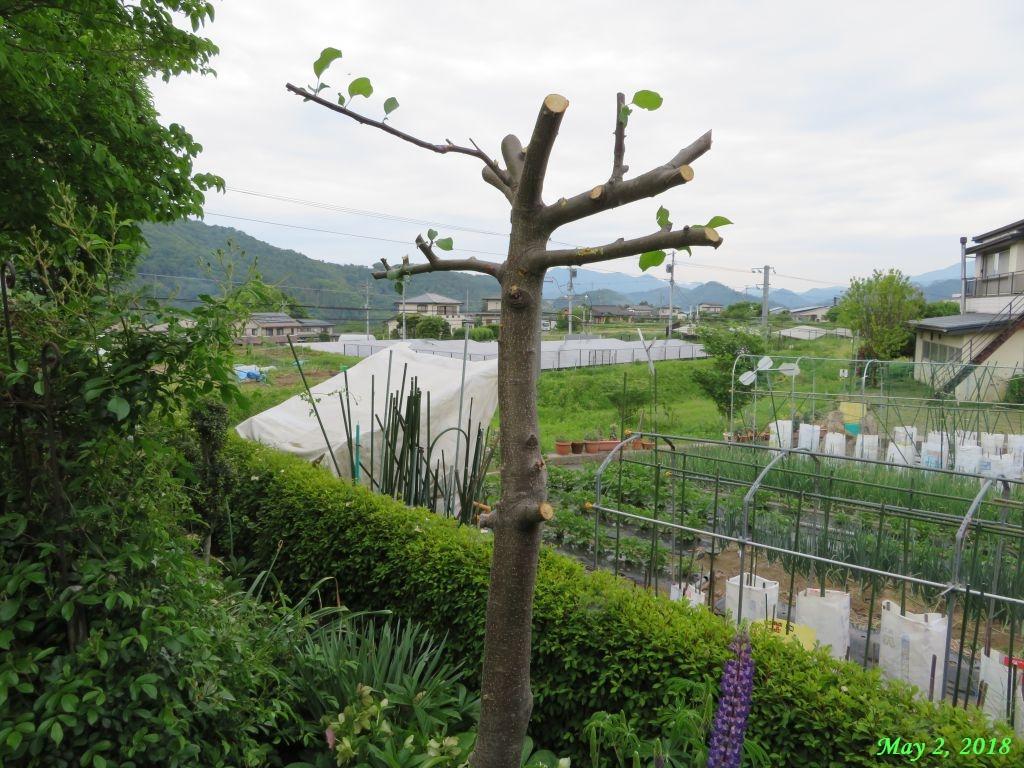 画像8(リンゴの木「フジ」)