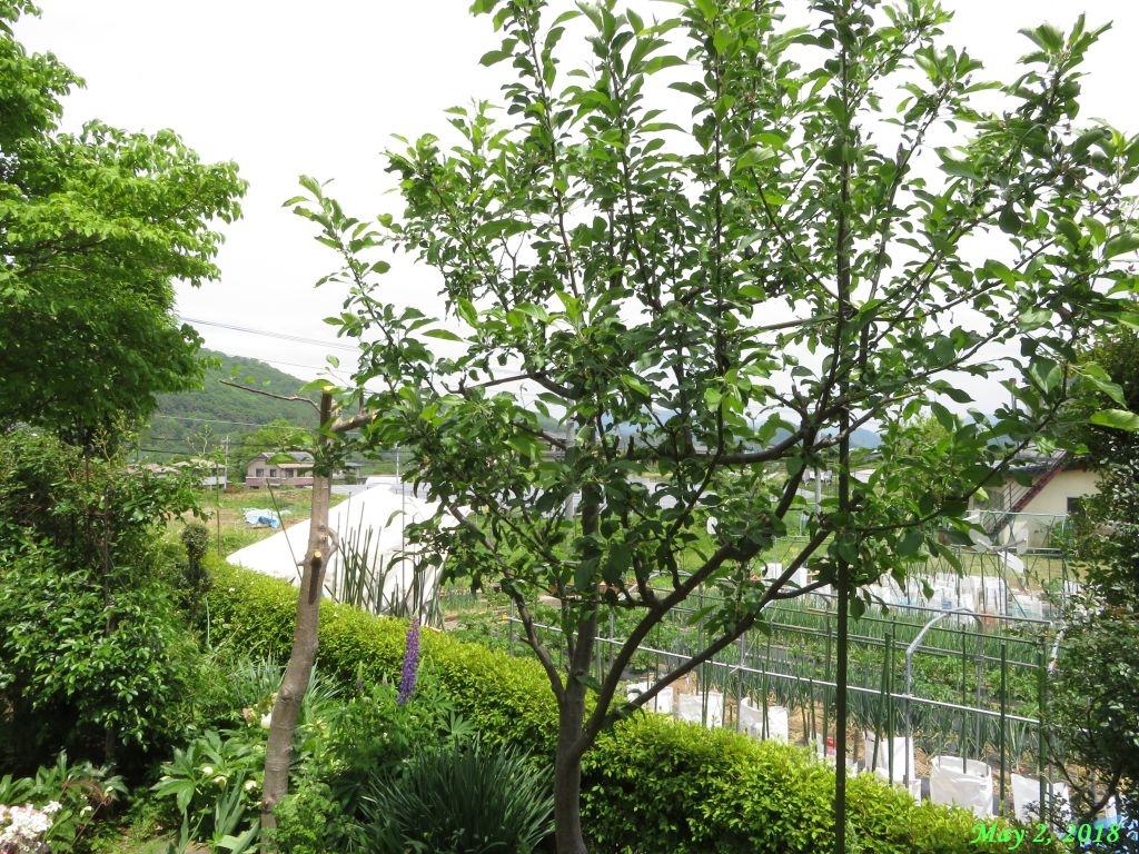 画像10(リンゴの木「アルプス乙女」)