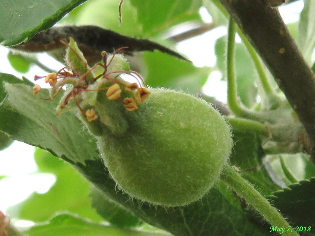 画像9(姫リンゴ)