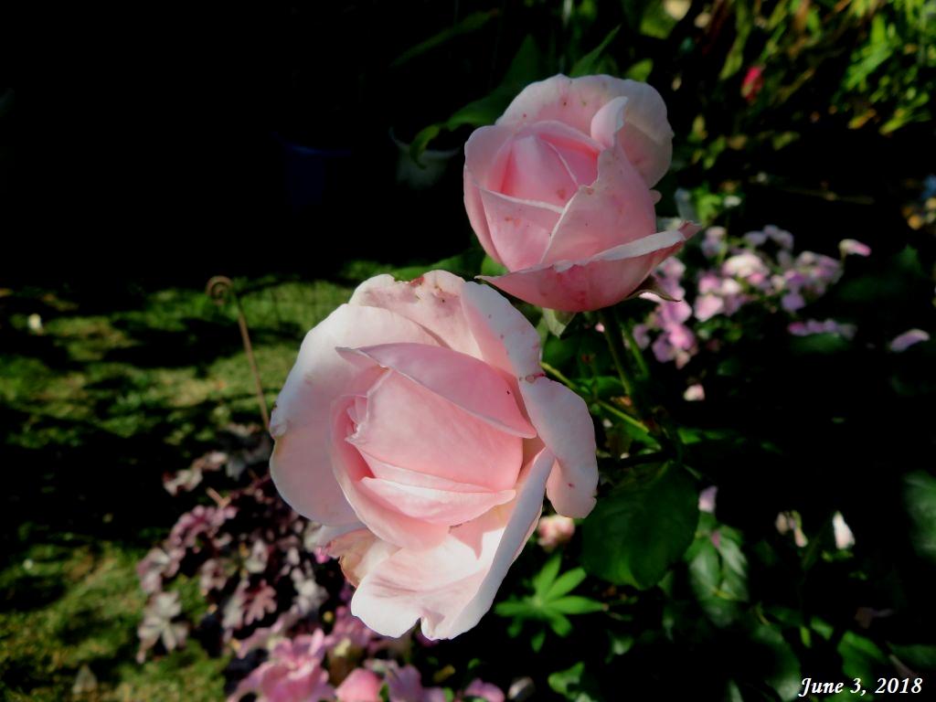 画像3(ピンクのバラ)