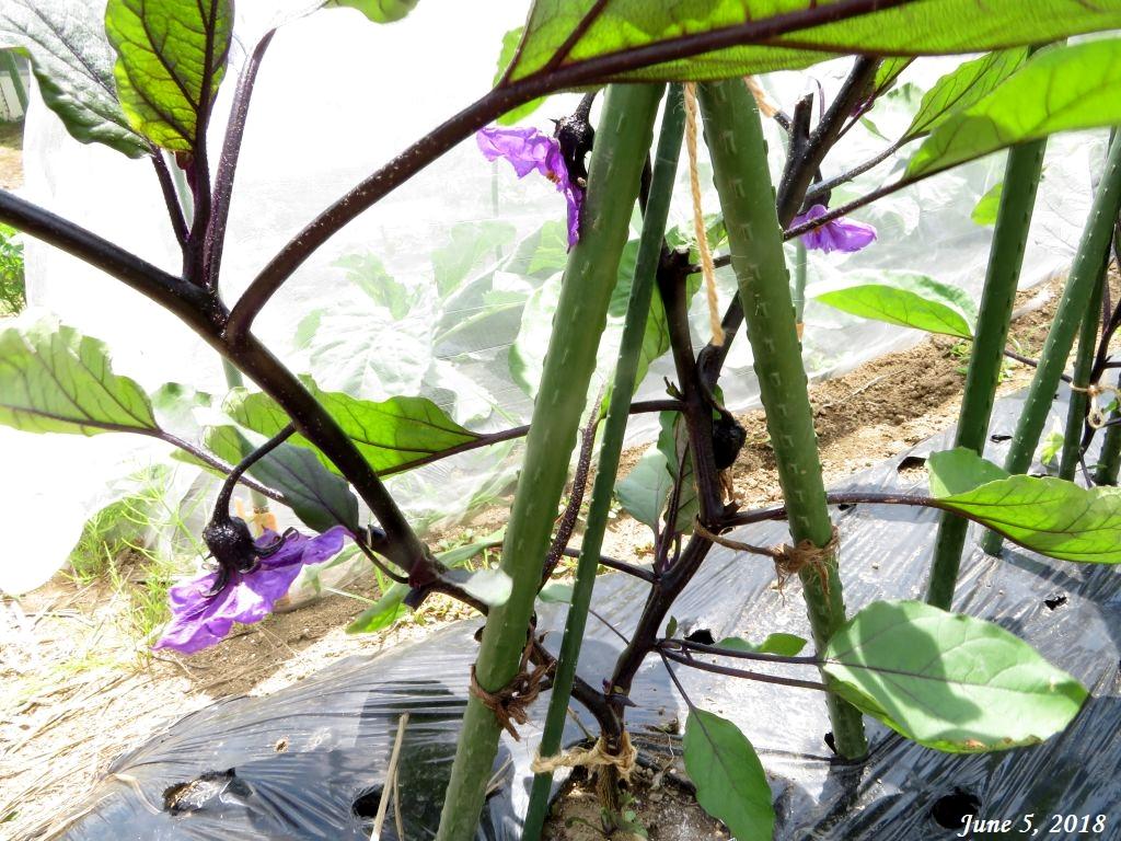 画像13(茄子の花)