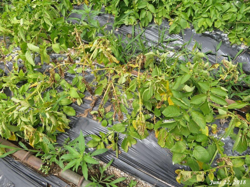 画像9(ジャガイモの畝)