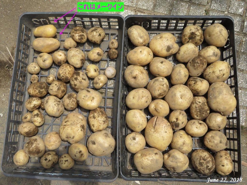 画像12(収穫したダンシャク)