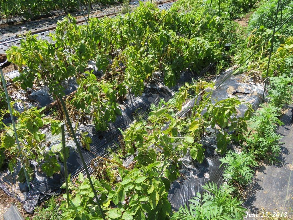 画像2(ジャガイモの畑)