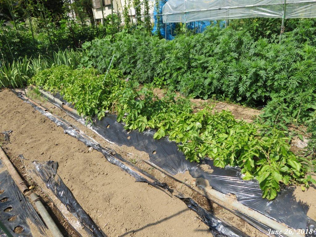 画像10(最後の収穫になるメークインの畝)