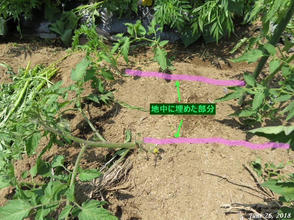 画像17(地中に埋めたトマトの茎)