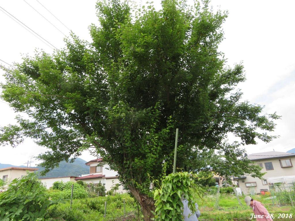 画像11(梅の木)