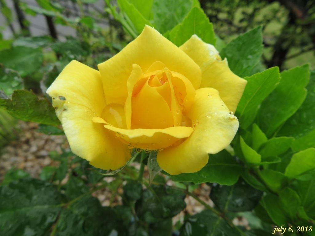画像2(黄色いバラ)