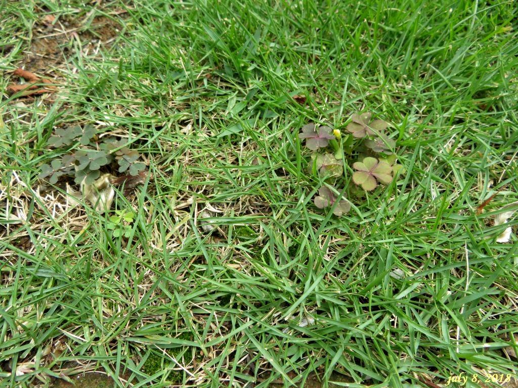 画像13(芝生の雑草)