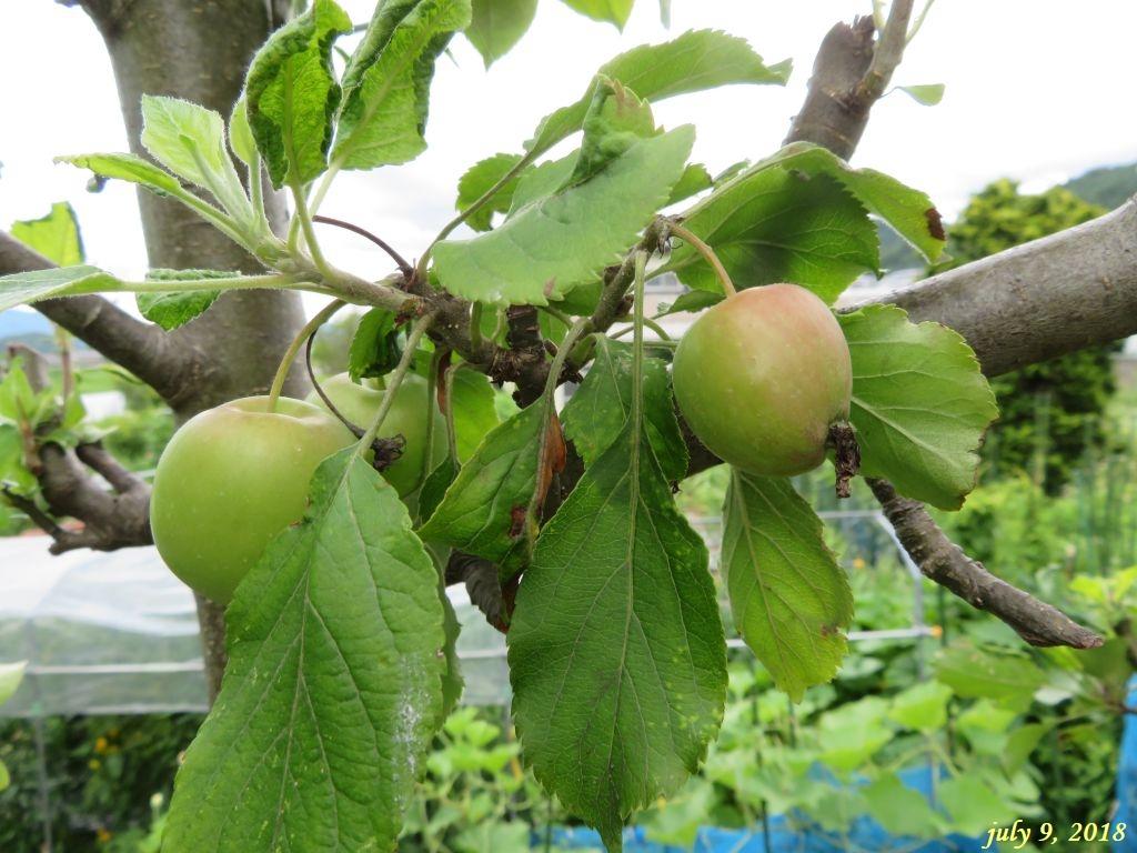 画像10(姫リンゴ)