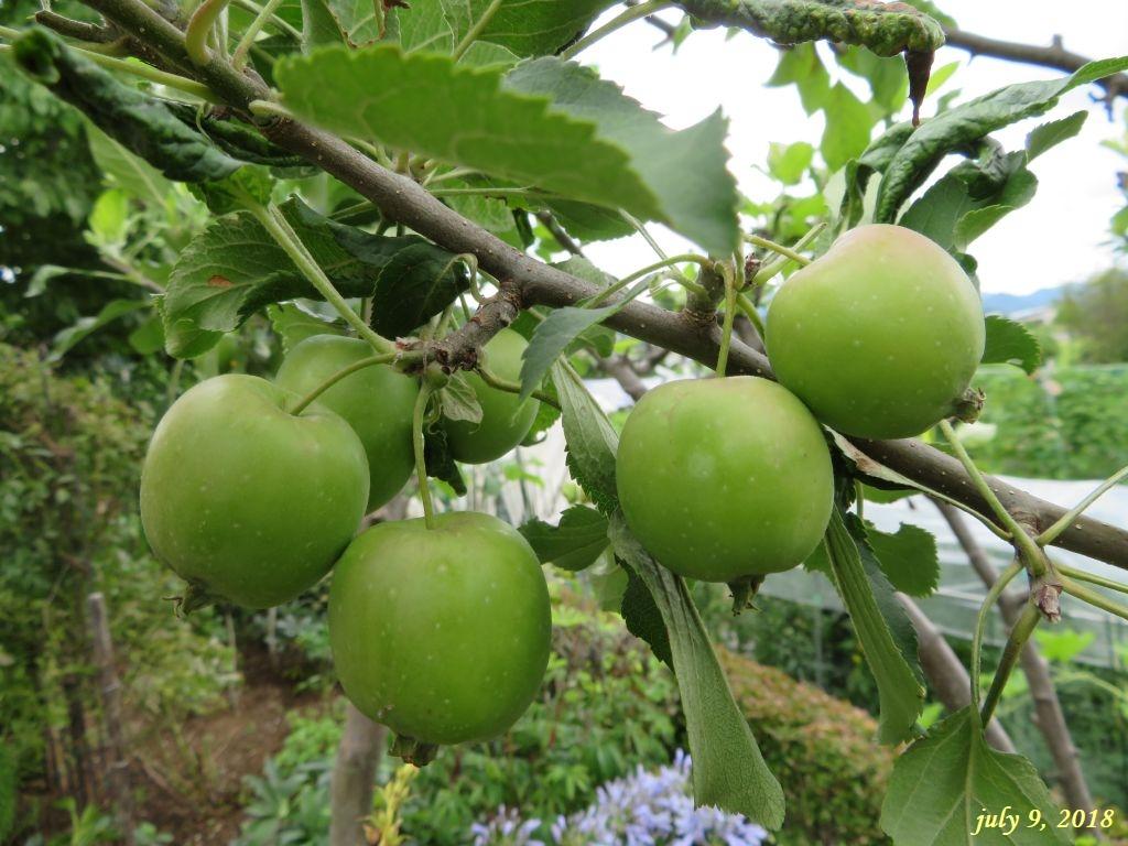 画像11(姫リンゴ)