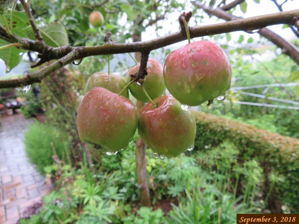 画像6(姫リンゴ)